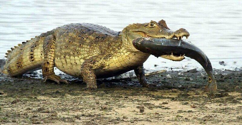 s kakoj skorostyu krokodil mozhet dvigatsya na sushe i vode