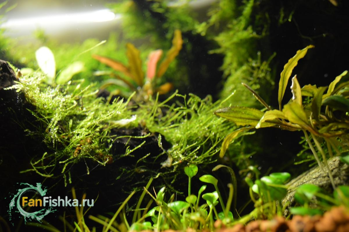 akvariumnye mxi vse o msharnike opisanie oformlenie vidy